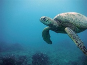 Green Sea Turtle - Leinwand